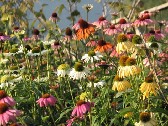 Piante Aromatiche Perenni Elenco : I nostri lavori per creazione giardini bordure miste